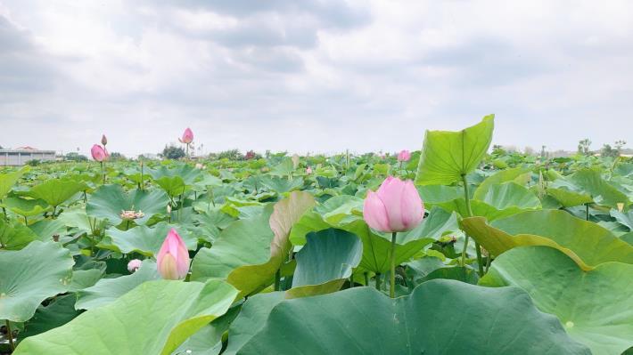 蓮花花況 白河區公所提供S__5087586