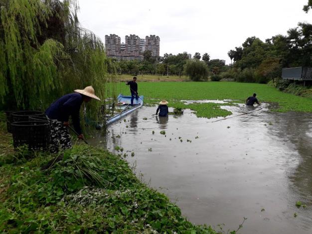 巴克禮生態池大萍-市府持續打撈