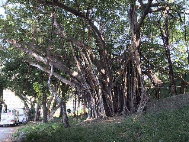 公66現場老樹