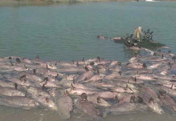 魚塭內龍膽石斑死亡