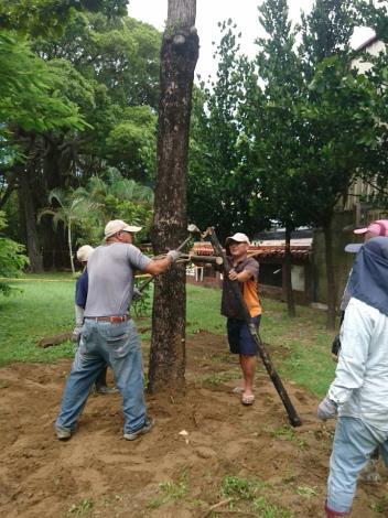 白鹿颱風臨去秋波帶來樹木災情 已大致處理完成-固定樹木