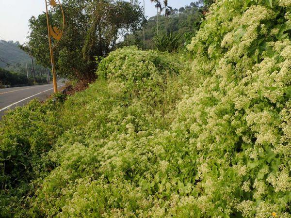 圖4:小花蔓澤蘭每平方公尺可產生17萬種子飄散