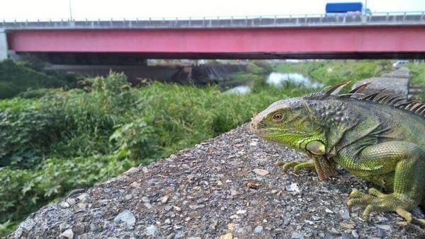 圖2:綠鬣蜥入侵熱點-三爺宮溪