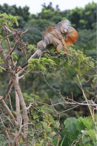 圖1:綠鬣蜥外型極具特色,吸引許多民眾飼養成為寵物