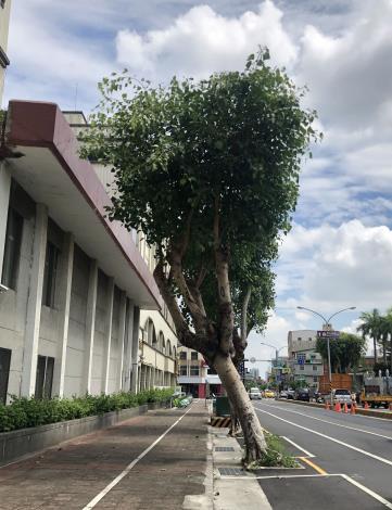 菩提樹嚴重歪斜