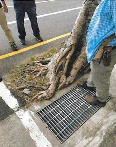 菩提樹嚴重歪斜樹根