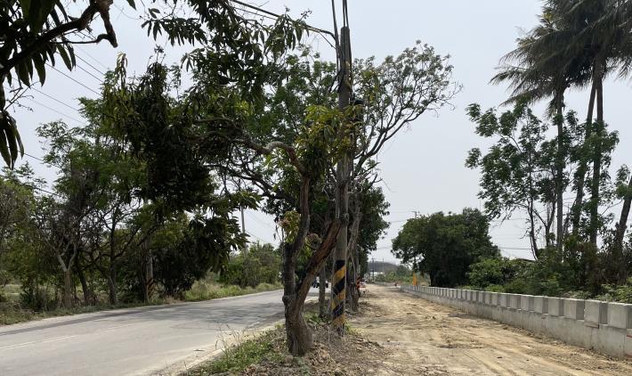 保留芒果樹綠色隧道打造觀光大道