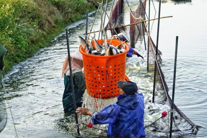1臺南虱目魚豐收