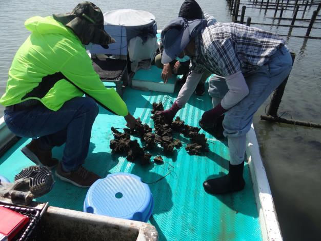 圖2 市府及水試所抽查潟湖養殖牡蠣災損