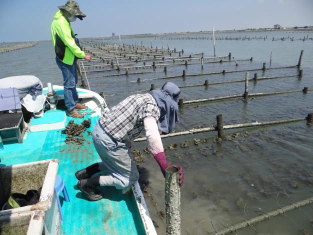 圖1 市府及水試所抽查潟湖養殖牡蠣災損