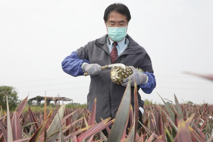 Mayor Huang Wei-che Promotes Multiple Marketing Channels for Tainan's Pineapples as Peak Harvest Season Approaches 3