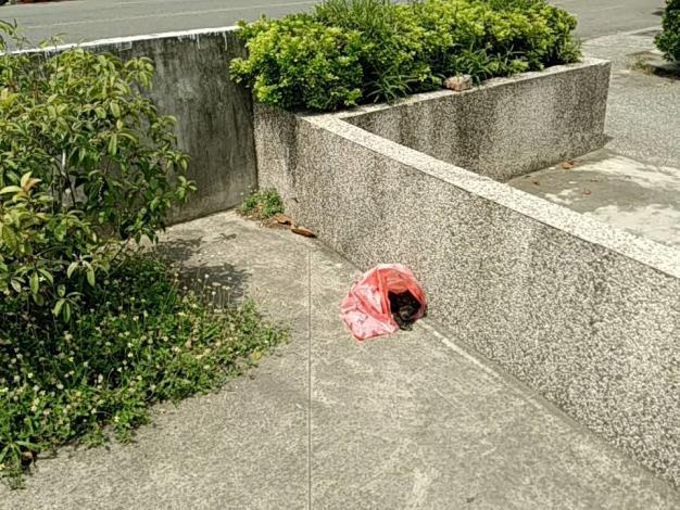 圖一、仔豬丟棄於圍牆內