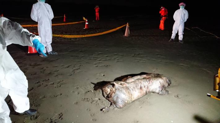 圖一、接獲海巡署蚵寮安檢所通報北門區急水溪出海口南岸海灘上有一死豬,現場拉起封鎖線