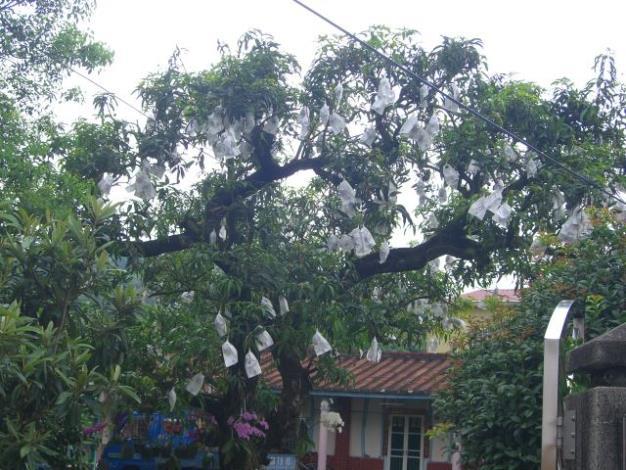第一棵愛文芒果樹