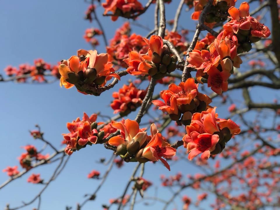 火紅盛開的美麗木棉花