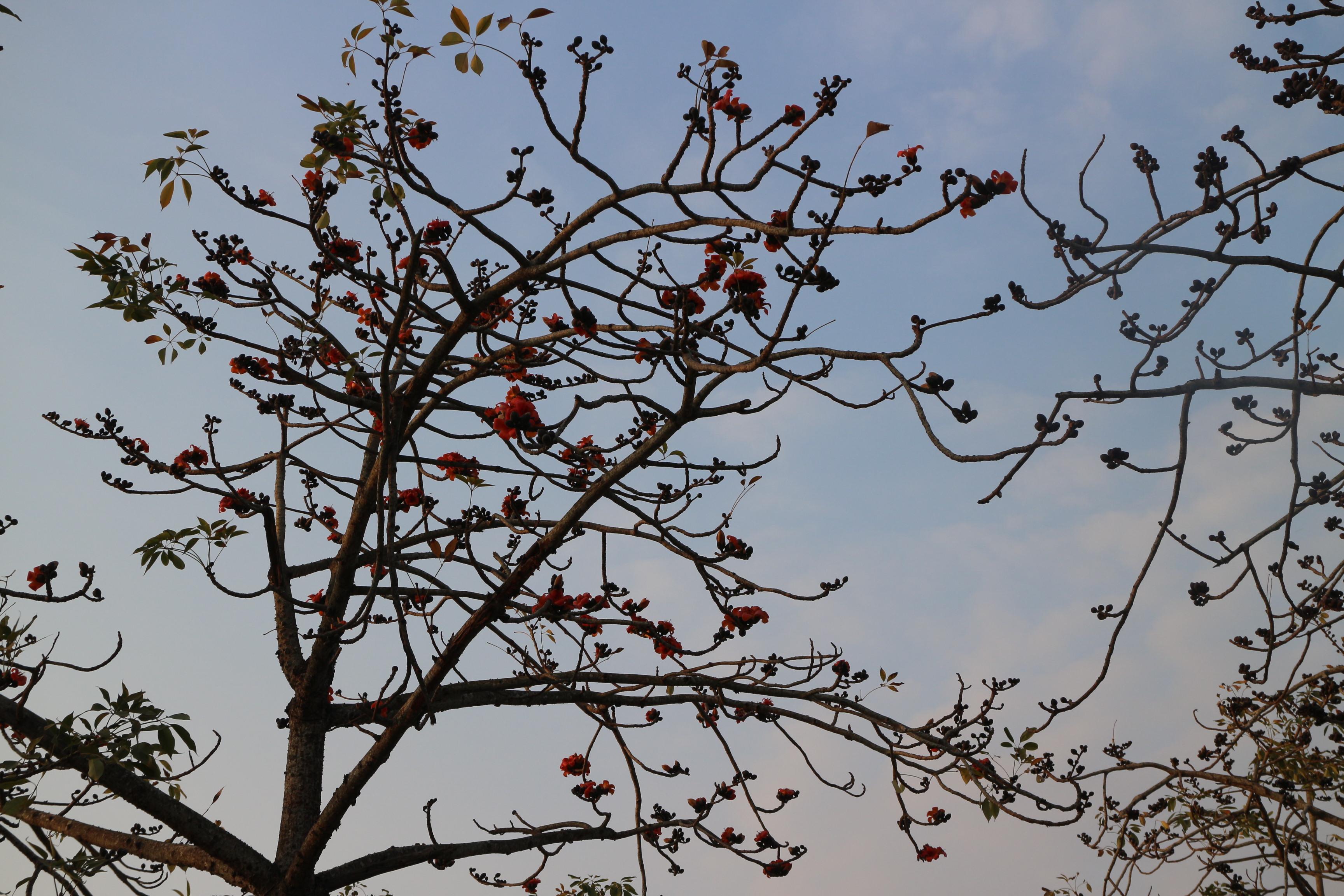 木棉花樹已開花