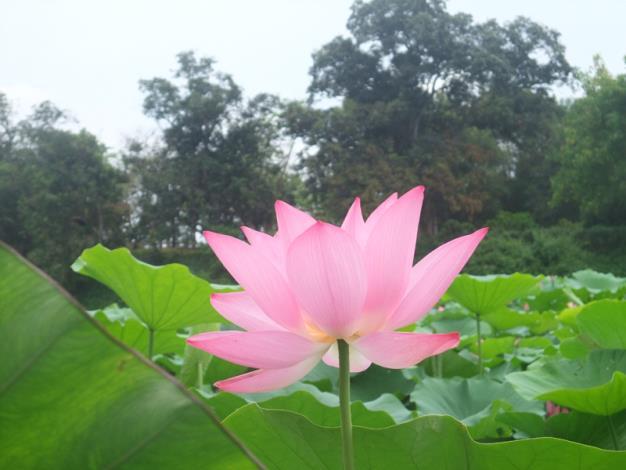 粉嫩的蓮花