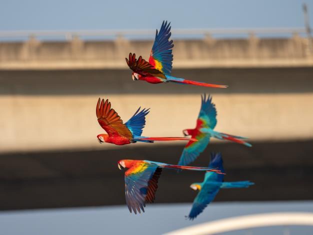 金剛鸚鵡放飛活動照片
