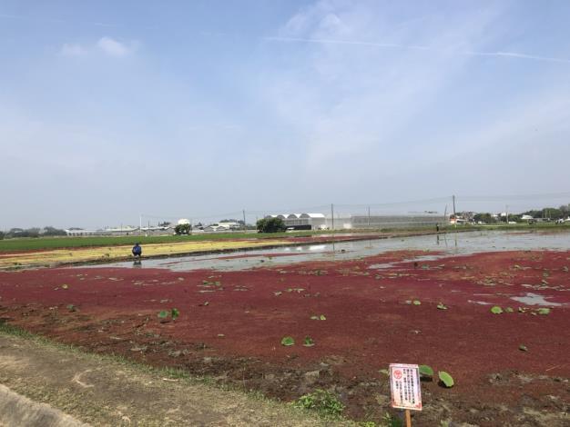 美麗的滿江紅水塘