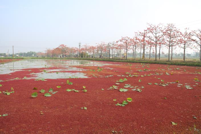滿江紅水塘.JPG