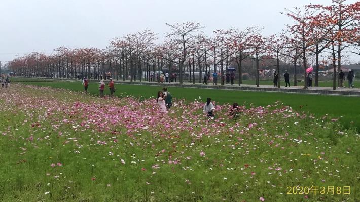民眾在波斯菊花田拍照