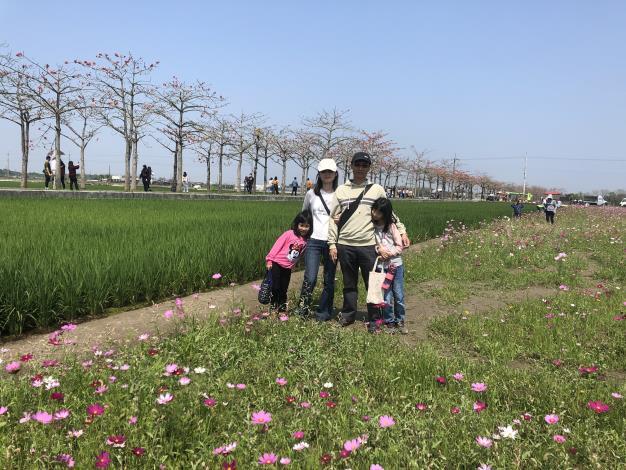 民眾在波斯菊花田前拍照