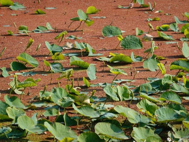 水生植物「滿江紅」