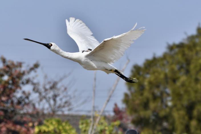 圖四、黑琵飛行回歸大自然