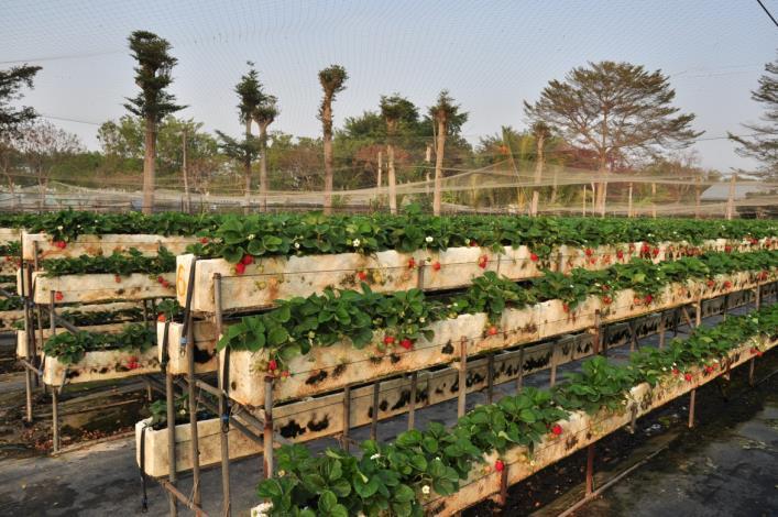 大安草莓家園