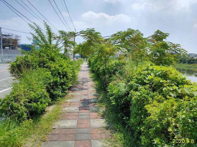 安通路五段下垂枝影響通行情形_200908