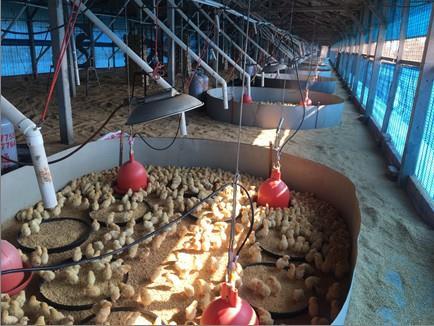 圖一、雛禽需加強保溫措施,避免禽隻免疫力下降