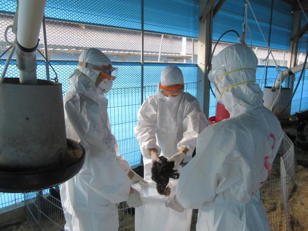 圖一、南市土雞場檢出禽流感 動保處撲殺處置圍堵病原擴散