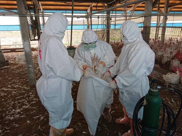 圖一、學甲區火雞場確診禽流感進行撲殺處置及場內消毒