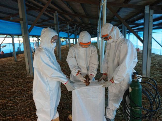 圖一、禽流感案例場撲殺處置情形及消毒作業。