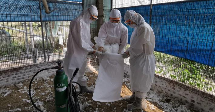 圖一、今日學甲禽流感案例場撲殺處置情形及消毒作業。
