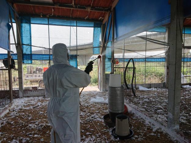 圖二、今日學甲禽流感案例場撲殺處置情形及消毒作業。