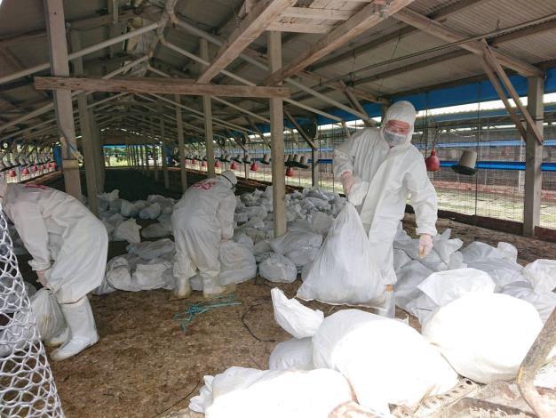 圖二、動保處於下營區禽流感案例場撲殺處置情形及消毒作業。