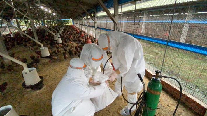 圖一、動保處於下營區禽流感案例場撲殺處置情形及消毒作業。