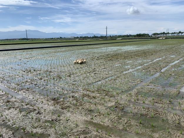 圖三、農業局動保處輔導種植鴨間稻農民,加強防範鴨隻坦布蘇病毒