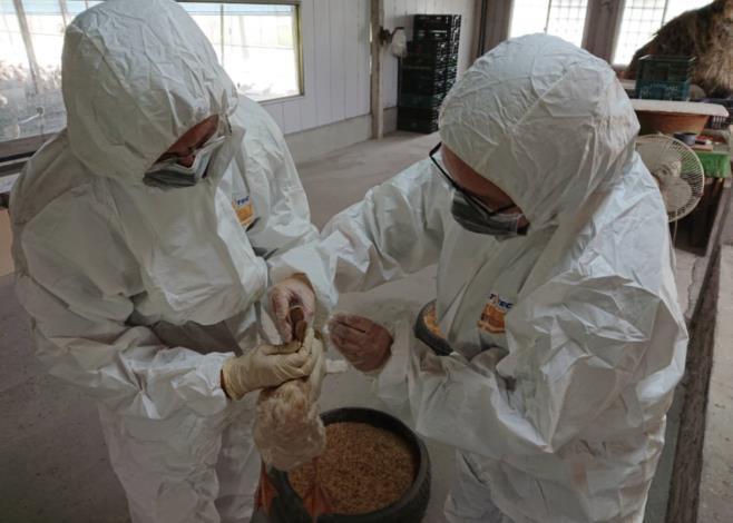 圖二、農業局動保處持續實施強化禽場家禽流行性感冒監測措施採樣。