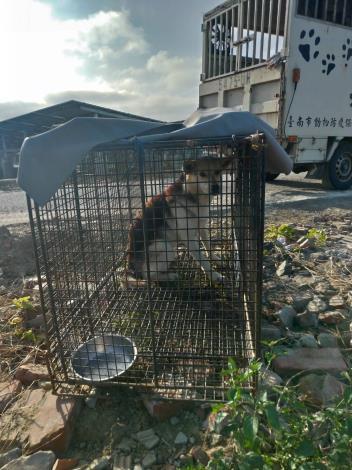圖三、北門區玉港里於1月5日及1月6日以誘捕籠捕捉之3頭遊蕩犬
