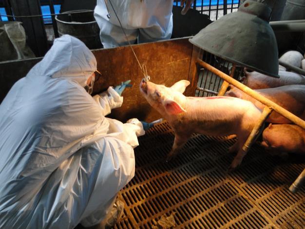 圖三、試驗豬隻進行採樣監測,評估畜牧場是否存在豬瘟病毒