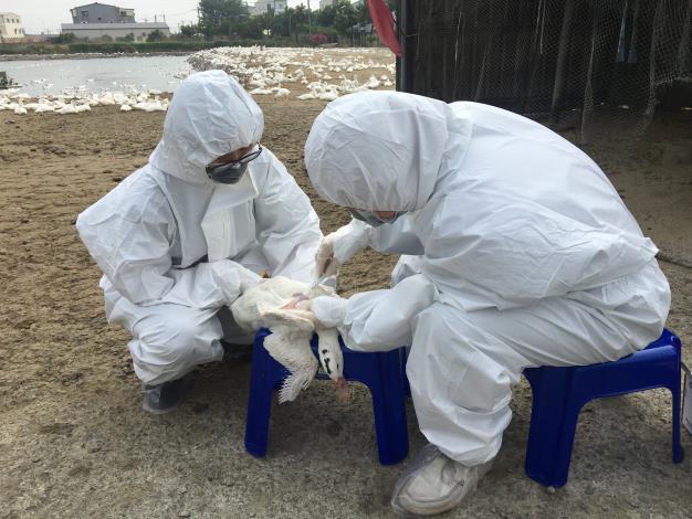 圖二、動保處人員於養禽場執行禽流感監測採樣