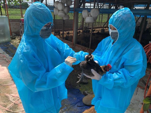圖一、動保處人員於養禽場執行禽流感監測採樣