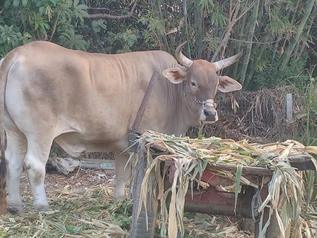 圖二、動保處前往訪查本市役用牛,健康良好
