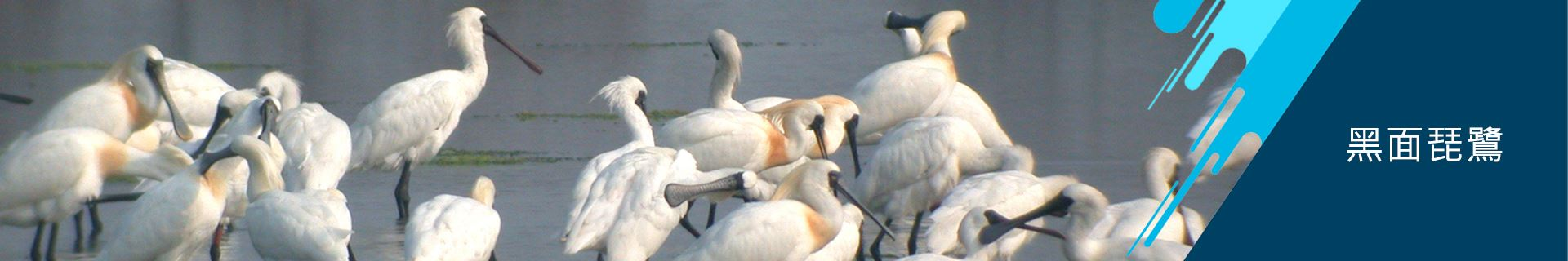 安南區公所-黑面琵鷺