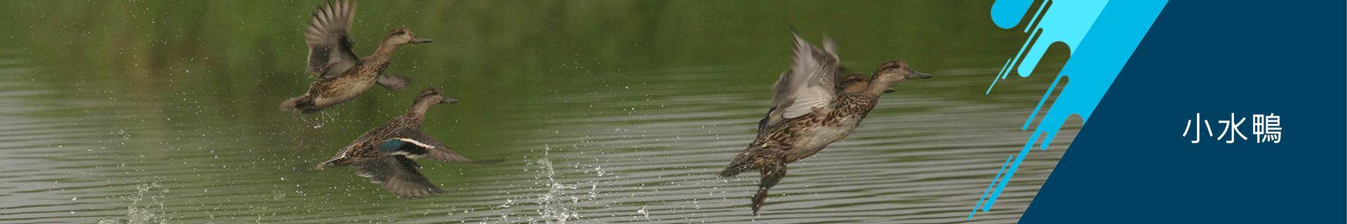 安南區公所-小水鴨