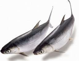 學甲區農漁牧產品 虱目魚