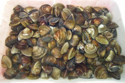 Wenge (Common orient clam, or hamaguri)