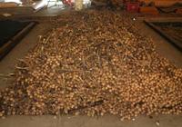 在窯上竹篾床進行烘乾